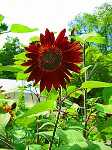 Blacksunflower