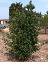 a laurel tree, picture used under licence