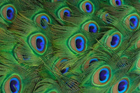 peacock tailfeathers, photo used under licence