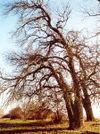 poplar trees, by Christian Fischer via wikipedia, under GNU licence